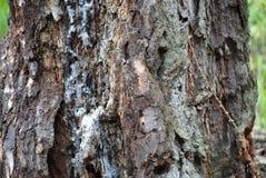 Árbol herido Fotos de archivo libres de regalías