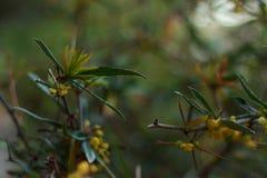 Árbol hermoso con las flores amarillas Fotos de archivo
