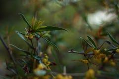 Árbol hermoso con las flores amarillas Fotografía de archivo