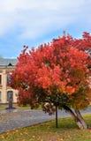 Árbol hermoso con las hojas de otoño rojas brillantes Fotos de archivo libres de regalías