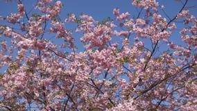 Árbol hermoso de la flor de cerezo de Sakura por la mañana en parque de la victoria de Europa Riga - rosa y colores en colores pa metrajes