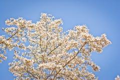 Árbol hermoso de la magnolia Foto de archivo libre de regalías
