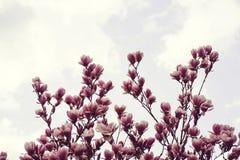 Árbol hermoso de la magnolia en primavera Imagen de archivo