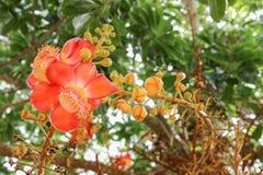 Árbol hermoso de la sal de Aubl del guianensis de Couroupita de la flor de la bola de cañón Imagen de archivo