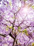 Árbol hermoso de las glicinias Foto de archivo
