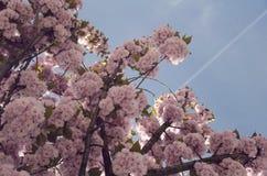 Árbol hermoso de Sakura - símbolo de la primavera Imagen de archivo libre de regalías