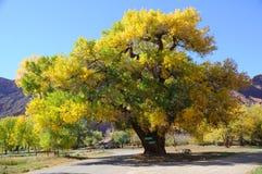 Árbol hermoso del Cottonwood en otoño Fotografía de archivo libre de regalías