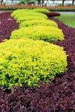 Árbol hermoso del oro de la decoración que cultiva un huerto Fotos de archivo libres de regalías