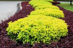 Árbol hermoso del oro de la decoración que cultiva un huerto Fotos de archivo