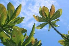 Árbol hermoso en fondo del cielo azul Imagen de archivo libre de regalías