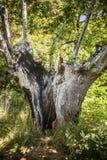 Árbol hueco del superviviente Fotos de archivo