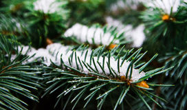 Árbol imperecedero con nieve Fotografía de archivo libre de regalías