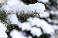 Árbol imperecedero después de nevadas Fotografía de archivo libre de regalías