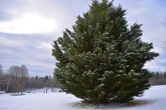 Árbol imperecedero en invierno Foto de archivo