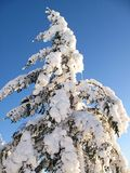 Árbol imperecedero nevado Imagen de archivo libre de regalías