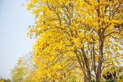 Árbol indio amarillo en Sa Merng, Chiangmai, Tailandia Foto de archivo