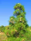 Árbol infestado con las orugas procesionales Foto de archivo libre de regalías