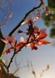 Árbol inglés del flor que comienza a florecer sol inglés brillante que emite abajo en las hojas Imagen de archivo