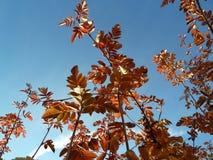 Árbol inglés en el otoño Fotos de archivo