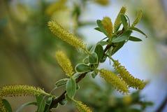 Árbol inusual con las flores amarillas Fotografía de archivo libre de regalías