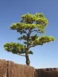 Árbol japonés Foto de archivo libre de regalías