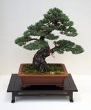 Árbol japonés de los bonsais Imagenes de archivo