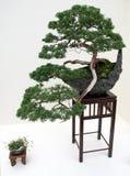 Árbol japonés de los bonsais Imagen de archivo libre de regalías