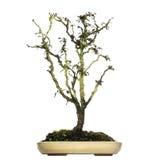 Árbol japonés de los bonsais de la cereza, serrulata del Prunus, aislado Fotografía de archivo libre de regalías