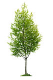 Árbol joven aislado Fotografía de archivo libre de regalías