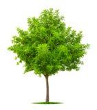 Árbol joven aislado en blanco imagen de archivo