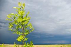 Árbol joven antes de la tormenta fotografía de archivo