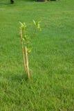 Árbol joven con los postes Fotografía de archivo