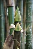 Árbol joven de bambú Imagenes de archivo