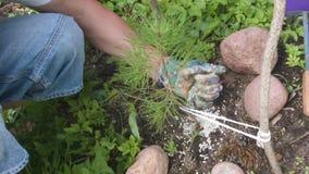 Árbol joven de la fertilización almacen de metraje de vídeo