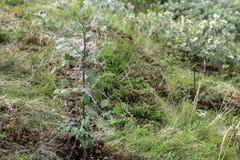 Árbol joven del árbol de abedul Imagenes de archivo