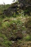 Árbol joven del árbol de abedul Fotos de archivo