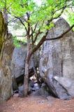 Árbol joven del árbol del granito de Yosemite foto de archivo