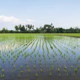 Árbol joven del arroz Foto de archivo