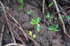 Árbol joven del bosque del mangle fotos de archivo libres de regalías