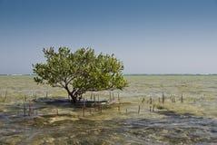Árbol joven del mangle. Fotos de archivo