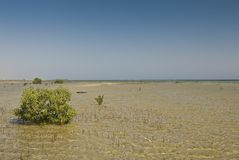 Árbol joven del mangle. Imagen de archivo