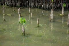 Árbol joven del mangle imagenes de archivo