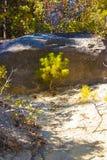 Árbol joven del pino gigante en el parque nacional de secoya, California, U Fotografía de archivo