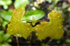 Árbol joven del sicómoro Fotos de archivo libres de regalías
