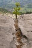 Árbol joven en la roca Fotos de archivo libres de regalías