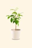 Árbol joven en pote Fotos de archivo libres de regalías