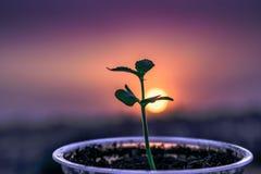 Árbol joven en una taza que crece detrás de un fondo de la puesta del sol imagenes de archivo