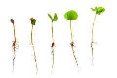Árbol joven o almácigo del café con la raíz visible contra un fondo blanco fotografía de archivo