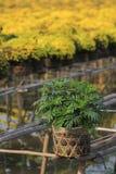 Árbol joven plantado de la maravilla en un pote de bambú Foto de archivo libre de regalías