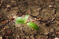 Árbol joven que brota en fondo de tierra seco Fotos de archivo libres de regalías